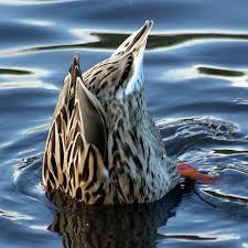 002-dabbling-duck